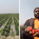 Huge Strawberry farm spotted at Jos in Nigeria