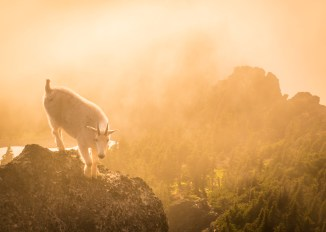 Charles He: Mountain Goat in the Olympic Mountains