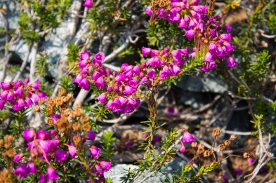 Colin Mann: Alpine Busy Bee