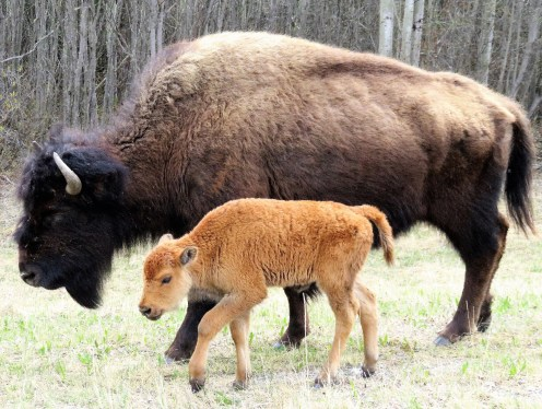 Phee Hudson: Bison cow calf in YK