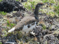 Graham Maddocks: Ptarmigan