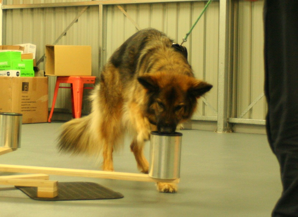 Working with nosework scentwheel