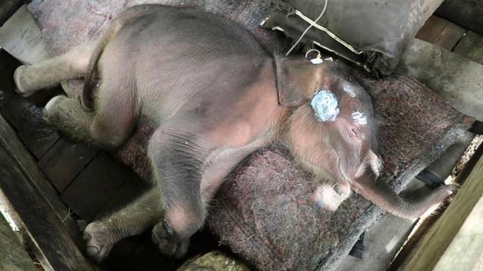 Bayi Gajah 'Inong' Mati Usai Diselamatkan dari Kubangan Lumpur di Tiro