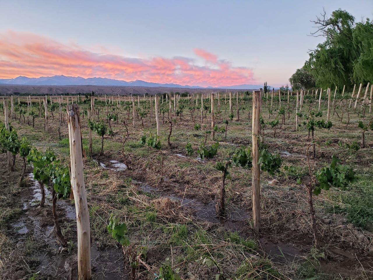 Alfil - Finca Los Dragones - Barreal - Valle de Calingasta - San Juan