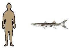 Average_man_and_giant_barracuda