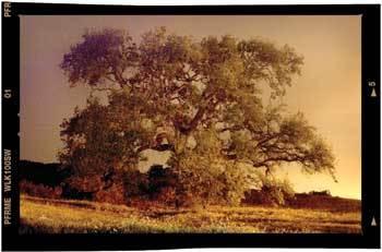 Oak_tree_in_drought_4