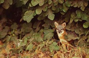 Island_kit_fox