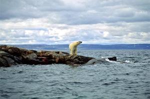 Polar_bear_looking_for_ice