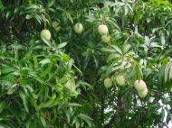 Mangoes Growing Wild