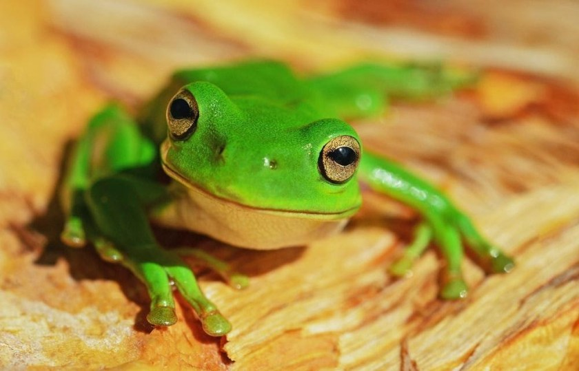 Behavior and Fun Facts green tree frog green tree frog care