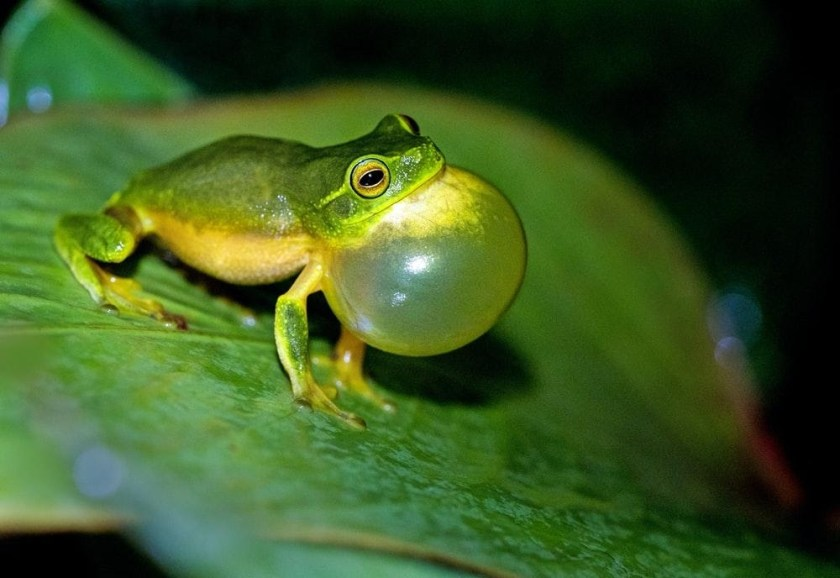 sign ofHealthy Green Tree Frogs