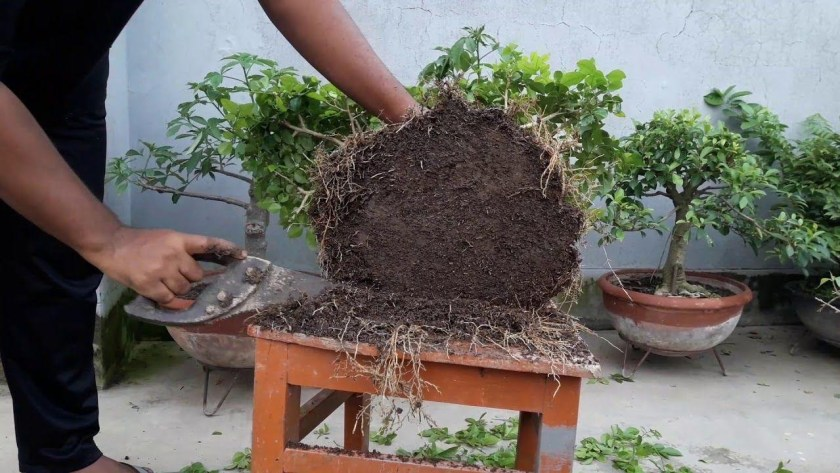 How to Do Repotting chinese elm bonsai