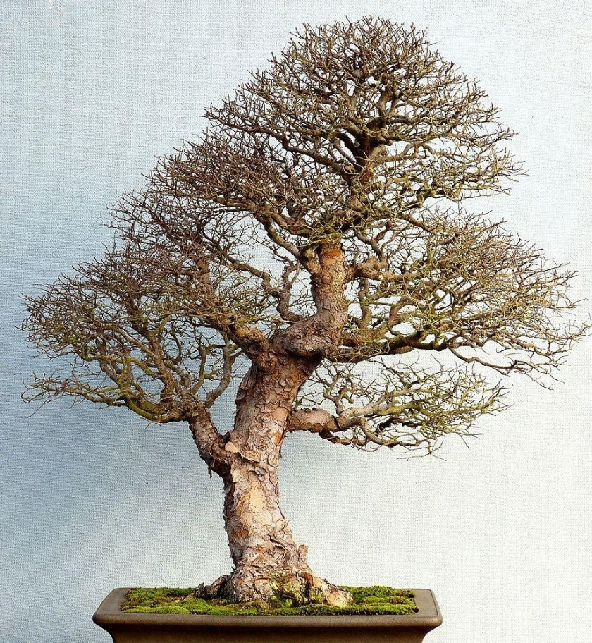 Pests and Diseases chinese elm bonsai