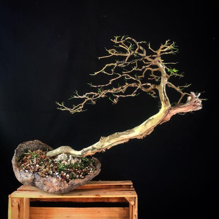 Some Problems You May Face in chinese bonsai elm