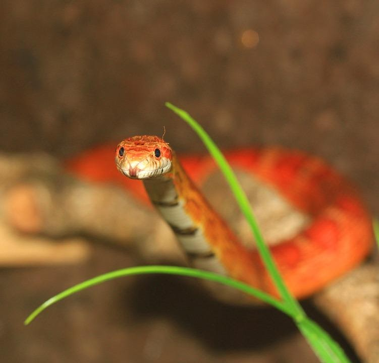 Treating the Wound corn snake