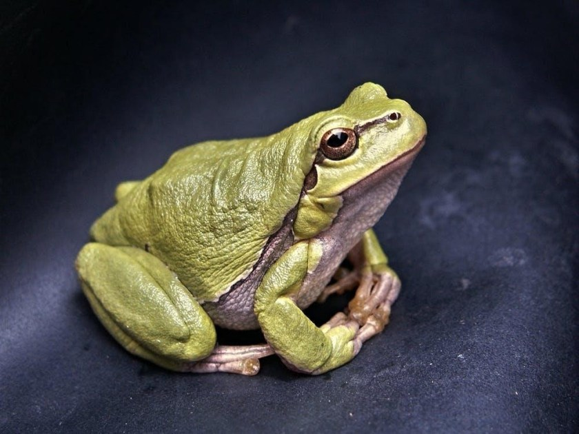 problem for freen tree frog