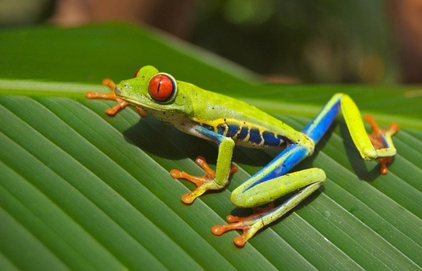 red eyed tree frog care complete guide 101