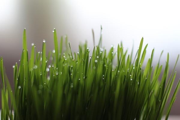 Wheatgrass for forehead Whiteheads