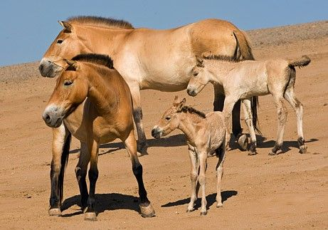 Animaux Equids Le Cheval Sauvage