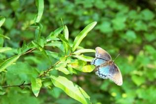 An obliging butterfly posing