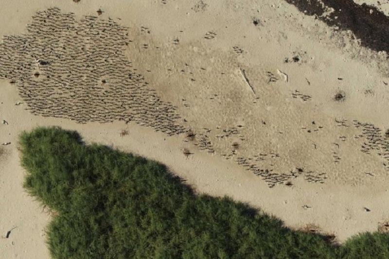 Colonia de charranes nidificantes con cresta