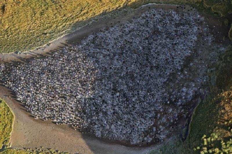 Colonia de pingüinos reales