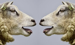 Talking sheep heads