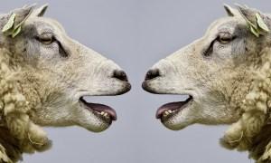 Talking sheep heads