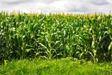 Foto de plantação de milho