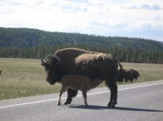 This bison just wouldn't budge.