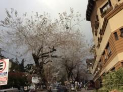 Árvore seca em Gramado