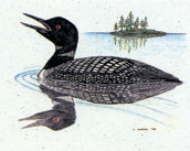 Common Loon Stationery