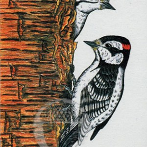 Downy Woodpecker Notecard