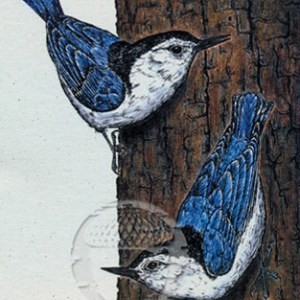 White-breasted Nuthatch Notecard