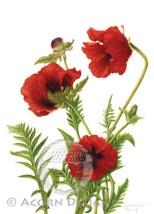 Oriental Poppy Notecard