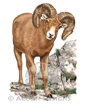 Bighorn Sheep Lokta Card