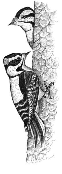 Downy Woodpeckers Notepad