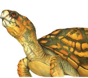 Box Turtle Notecard