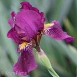 Iris 'Red Zinger'