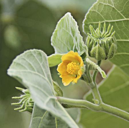 Flor del yute de China (Abutilon theophrasti)