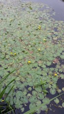 Nynphoides peltata con fiori