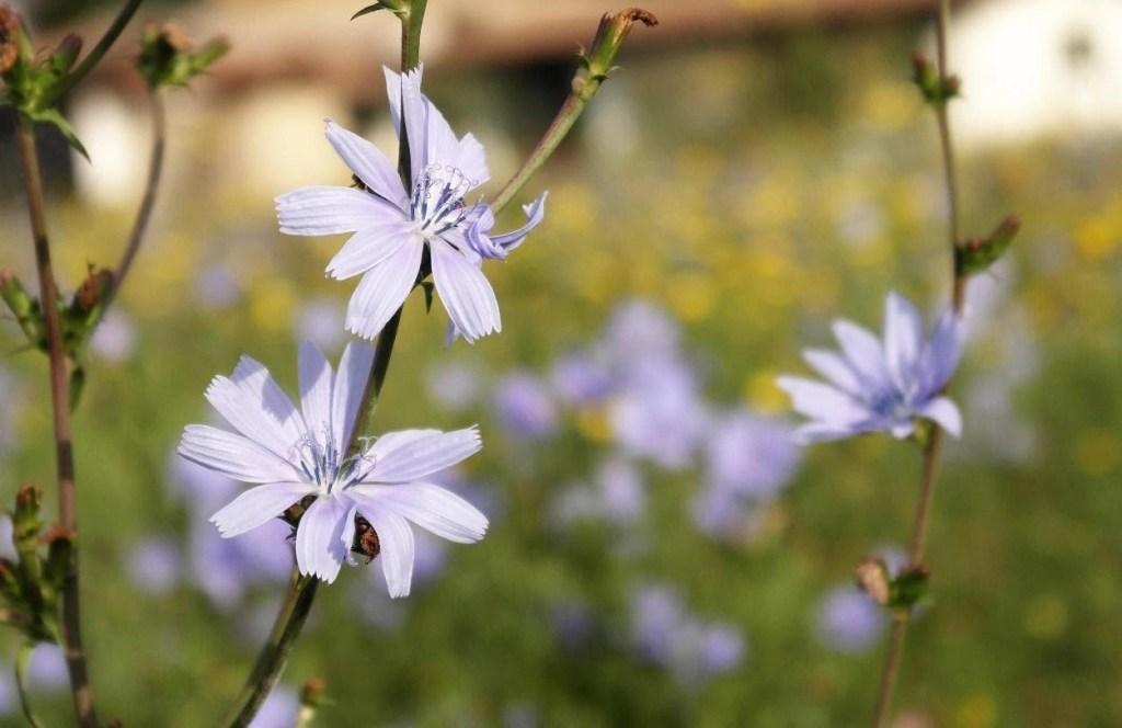 Il fiore del radicchio in acquaponica. Come coltivarlo. acquaponica.blog