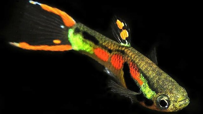 scheda endler - poecilia wingei