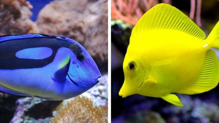 incompatibilità tra pesci