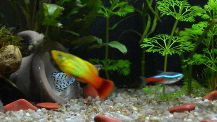 compatibilità tra pesci di acqua dolce e come sceglierli