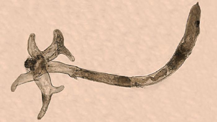 parassita lernaea femmina