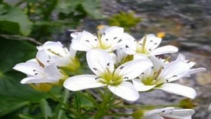 Cardamine lyrata fiore