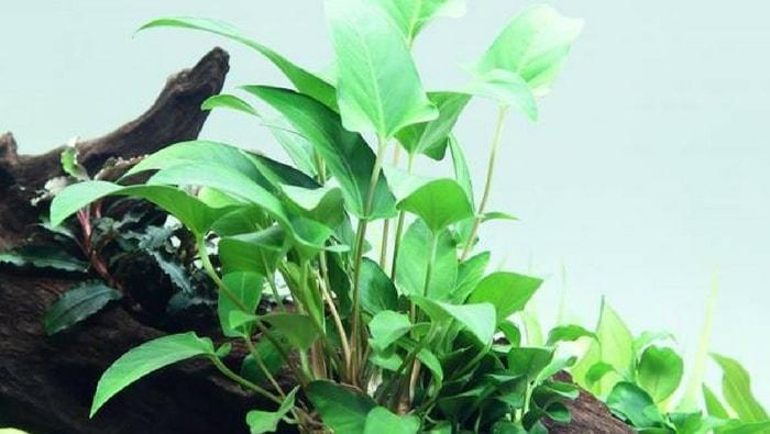 anubias gracilis ancorata ad una radice