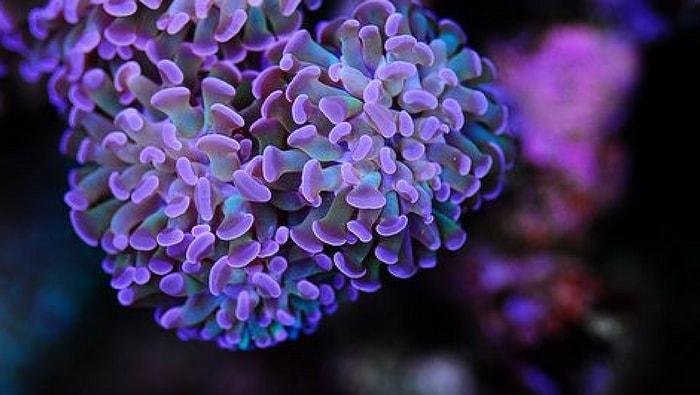 Euphyllia paraancora viola