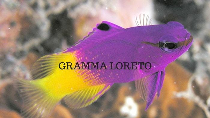 Gramma Loreto
